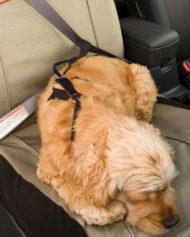 hundehjertet_kurgo_forsade_overtrak_med_hund_til_bil